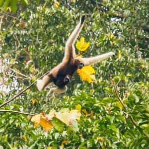 Hoolock Gibbon mit Nachwuchs