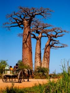Baobab bei Morondava, Madagaskar