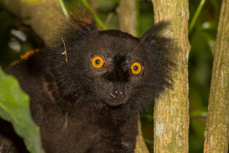 Jetzt Spenden für den Naturschutz - Eulemur macaco, Eine vom Aussterben bedrohte Lemurenart von Madagaskar