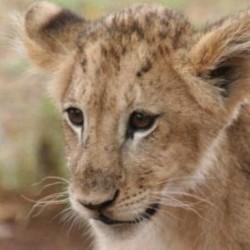 CfN Namibia lion