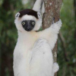 Sifaka Madagascar