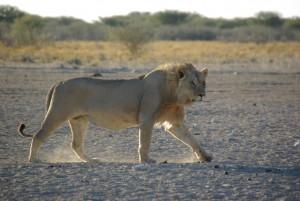 Löwe im Etoscha Nationalpark, Namibia