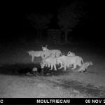 Eine Gruppe Löwen tappt nachts in die Kamerafalle.