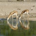 Junge Springböcke trinken an einem Wasserloch. Foto: Martina Trinkel