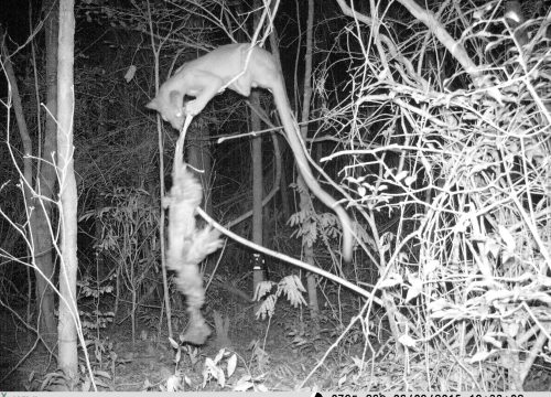 A fossa (Cryptoprocta ferox), Madagascar's largest carnivore, shows its ability to climb during an experiment conducted in Kirindy Forest, Madagascar.