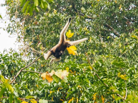 Female eastern Hoolock Gibbon with infant jumping from one tree to another Foto: M. Markolf