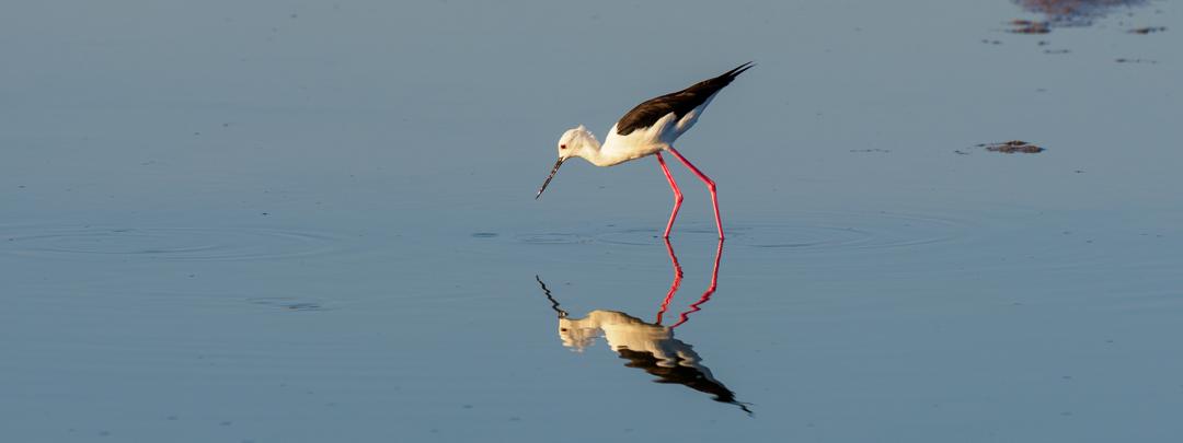 black-winged stilt-245799