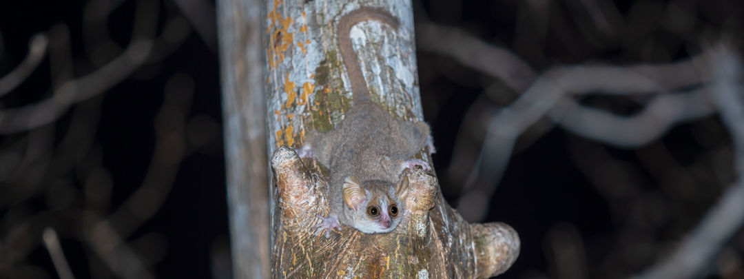 mouse-lemur-