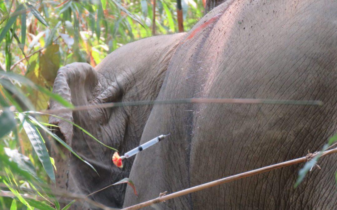 Elefantenbulle am Indawgyi-See wieder eingefangen