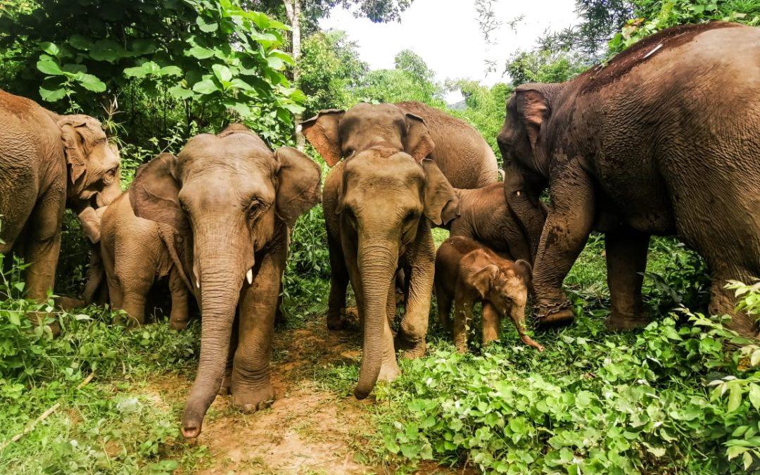 Freude am Indawgyi-See: Doppelter Nachwuchs in der Elefanten-Herde
